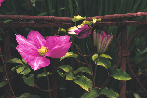 clematis-in-iron
