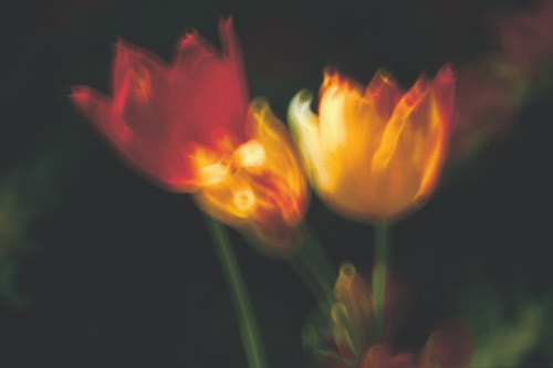 light-wash-tulips