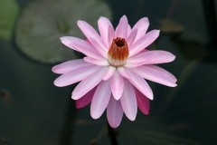 Water Lilly - Pink