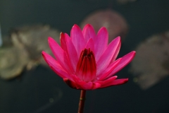 Water Lilly - Red