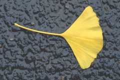 gingko-in-the-rain