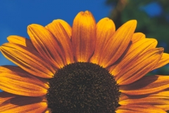rising-sunflower