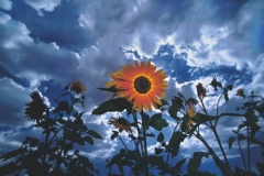 sunflower-sky