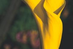 yellow-calla-lily