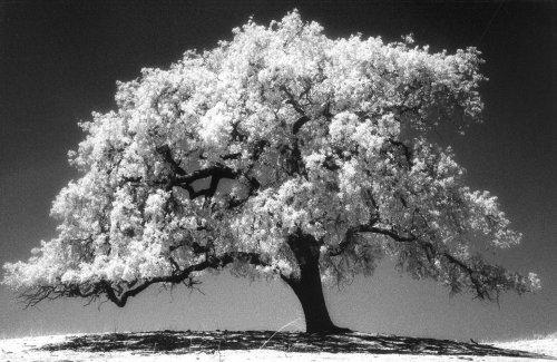 lone-oak