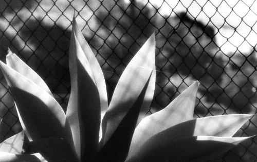 transparent-agave