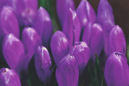 crocus-in-purple