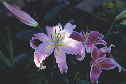 lily-dusk