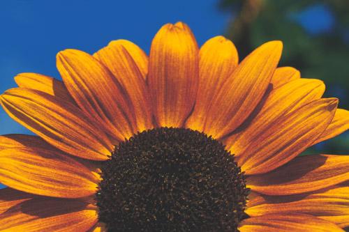 rising-sunflower