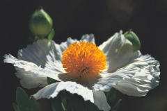 poppy-with-golden-sun