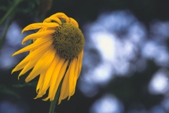 sunflower-against-the-wind