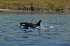 orcas, San Juan Islands